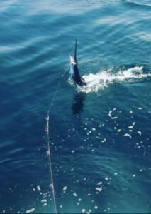 puerto vallarta sailfish